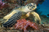 Turtle in Similan by Sony NEX5 and Nikonos 15mm fisheye