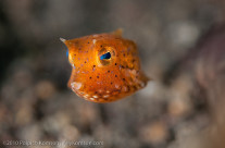 thorny boxfish by Nikon D90